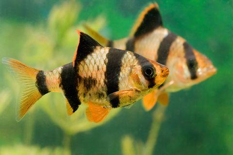 Tropical fish for Semi aggressive fish