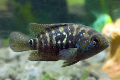 Tropical fish for Large peaceful community fish
