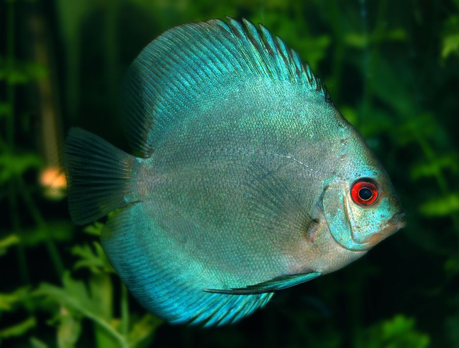 Understanding the different types of cichlid for Different types of pet fish