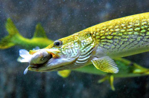 Aquarium fish for Predatory freshwater fish