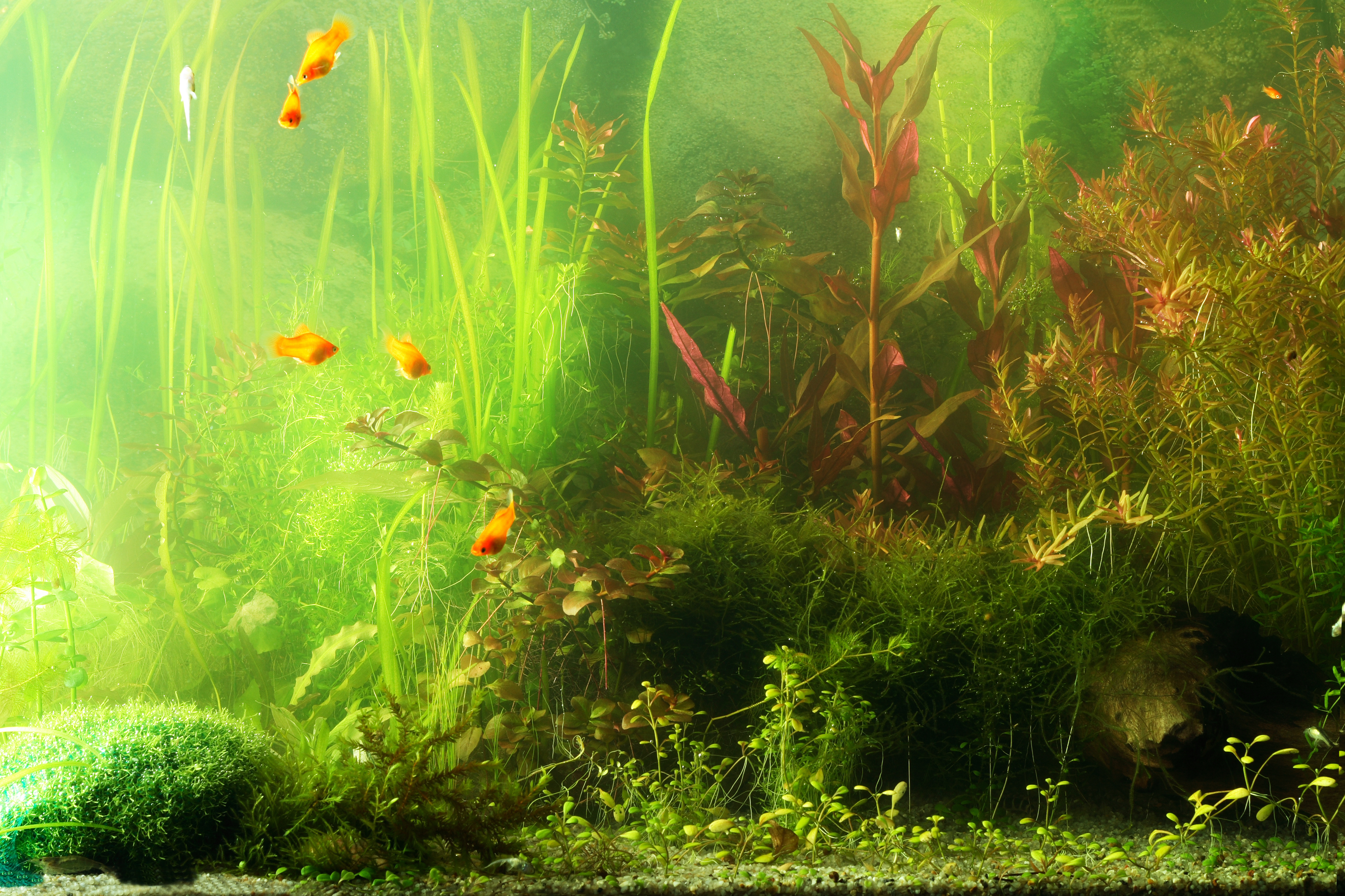 Freshwater aquarium fish list species - Aquarium Algae