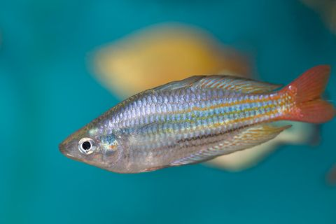 rainbowfish boesmans xs 7237040