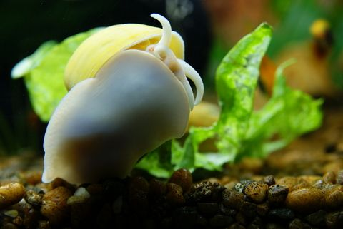 Aquarium snails for Snails in fish tank