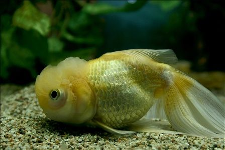 yellow-chinese-fish