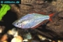 Dwarf Rainbowfish