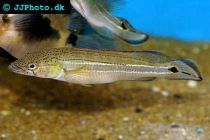 striped pike cichlid