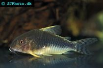 palespotted corydoras